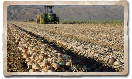 Onion Crops from Varsity Produce